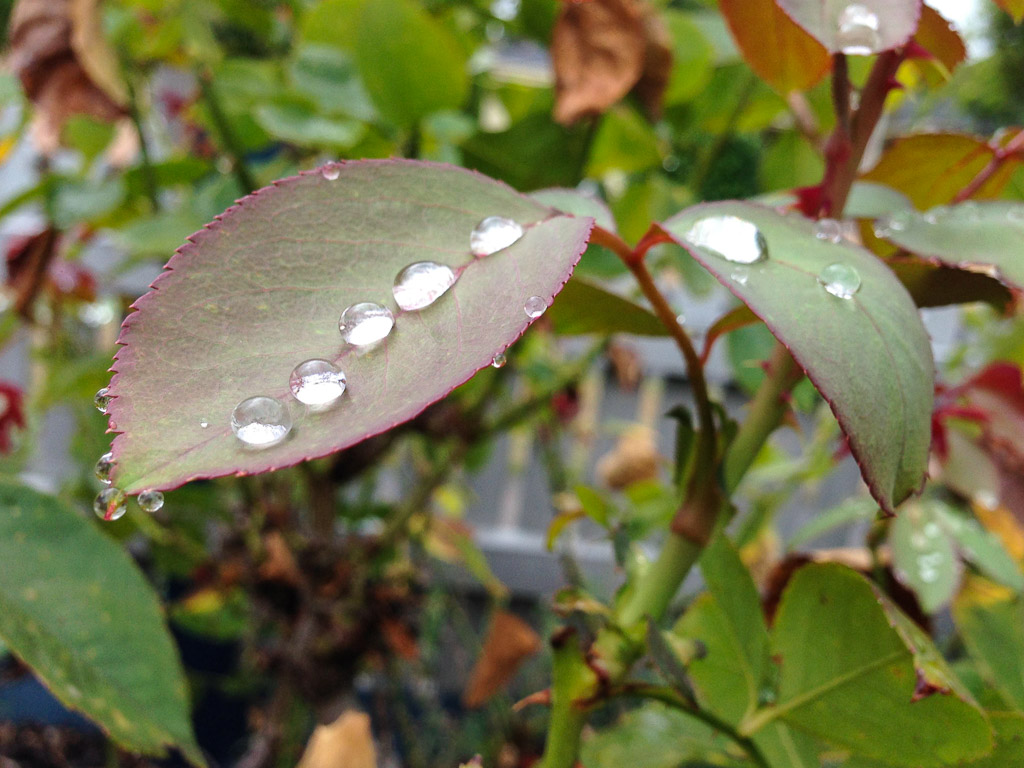 Droplets on rose leaves at Columbia Ave